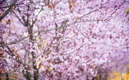 Cherry blossom art Royalty Free Stock Photo
