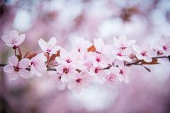 Cherry blossom art Stock Photography