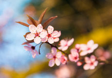 Cherry blossom art Stock Images