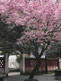 Cherry blossom in Asian garden Royalty Free Stock Images