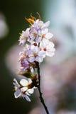 Cherry Blossom avec le foyer mou, saison de Sakura à Moscou, fond Photographie stock