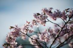 Cherry Blossom avec le foyer mou, saison de Sakura à Moscou, fond Images stock