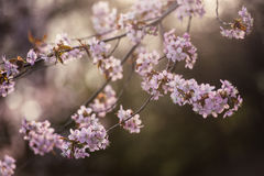Cherry Blossom avec le foyer mou, saison de Sakura à Moscou, fond Photos libres de droits