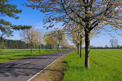 Cherry blossom avenue in spring Stock Photos