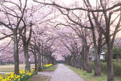 Cherry blossom avenue at Takarano park at dawn in Tokyo. Tokyo, Japan-April 6, 2017: Takarano park in Tama City is famous for cherry blossoms or sakura Stock Image