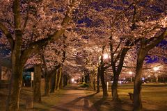Cherry blossom avenue at Takarano park at nght in Tokyo. Tokyo, Japan-April 7, 2017: Takarano park in Tama City is famous for cherry blossoms or sakura Stock Photo