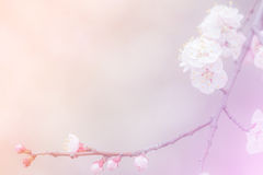 Cherry Blossom Background abstrait Photographie stock