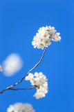 Cherry blossom background with lovely white color Stock Images