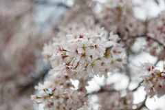 Cherry blossom background with pink color Royalty Free Stock Photo