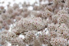 Cherry blossom background with pink color Royalty Free Stock Photography