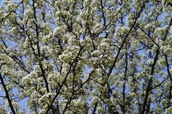 Cherry blossom background. Cherry tree branches in bloom Royalty Free Stock Images