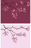 Cherry Blossom Backgrounds - Vector Illustration Stock Images