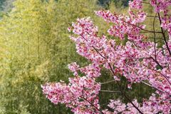Cherry Blossom and Bamboo stock photography