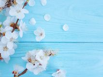 Cherry beautiful blossom may summer vintage celebration branch springtime on blue wooden background. Cherry blossom beautiful branch blue wooden may decoration stock photography