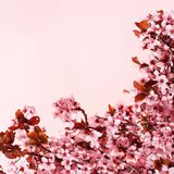 Cherry blossom, beautiful flowers. Sakura Royalty Free Stock Image
