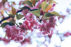 Cherry blossom beautiful - sakura Stock Photography