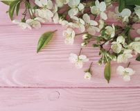 Cherry beauty blossom freshness design on a pink wooden background, springtime royalty free stock image
