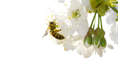Cherry blossom and bee stock photo