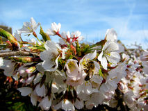 Cherry blossom and bee Royalty Free Stock Photography
