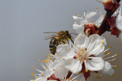 Cherry blossom and bee. Honey bee on cherry blossom with copy space. Close up Royalty Free Stock Image