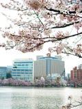 Cherry Blossom bei Japan Lizenzfreies Stockbild