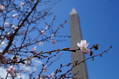 Cherry Blossom bei Washington Monument Lizenzfreies Stockbild