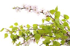 Cherry blossom and birch branches. stock photo