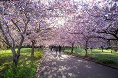 Cherry Blossom at Bispebjerg Cemetery in Copenhagen. Copenhagen, Denmark - April 20, 2016: People on an alley of blooming cherry trees at Bispebjerg cemetery royalty free stock image