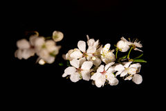 Cherry blossom on black background. Stock Image