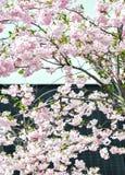 Cherry blossom black and white Stock Photos