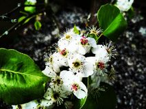 Cherry blossom in bloom. Cherry blossom bloom portland oregon royalty free stock photos