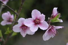 Cherry Blossom Bloom in Spring stock photography