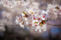 Cherry Blossom Bloom Stock Images