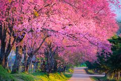 Cherry Blossom Blooming foto de stock