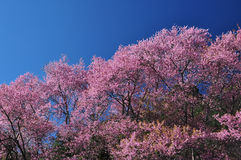 Cherry blossom blooming Royalty Free Stock Images