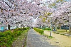 Cherry Blossom Blooming Imagen de archivo libre de regalías
