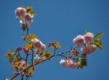 Cherry blossom. Blooming in the garden Stock Photos