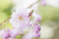 Cherry blossom. Blooming cherry blossom in spring royalty free stock photography
