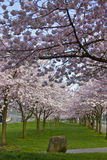 Cherry Blossom Blooming at Spring Time. Portland Oregon Royalty Free Stock Photo