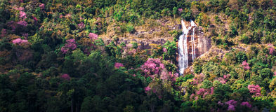 Cherry blossom blooming on tropical mountain Royalty Free Stock Photo