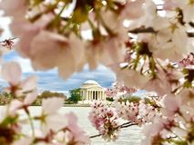 Cherry blossom blooming in Washington DC. Tidal basin Jefferson memorial royalty free stock photo
