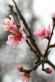 Cherry Blossom Blooms. Cherry blossom pink flowers blooming from the tree branch Royalty Free Stock Photos