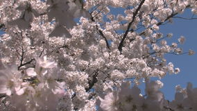 Cherry blossom blooms zoom out stock footage