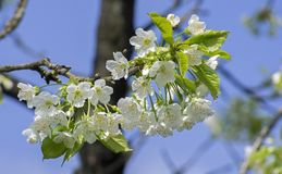 Cherry Blossom, Blossom, Bloom Royalty Free Stock Images