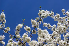 Cherry blossom. S against the clear blue sky Stock Images