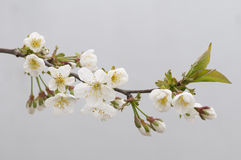 Cherry blossom. S on a neutral background. Shallow depth of field Stock Image