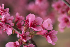 Cherry Blossom. S opening up in late winter/early spring in Louisiana Stock Photos
