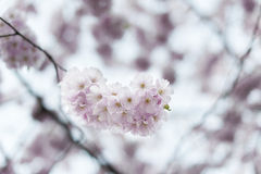 Cherry blossom. S in spring. Blurred background Royalty Free Stock Images
