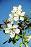 Cherry blossom before blue sky Royalty Free Stock Photography