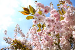 Cherry blossom in blue sky Stock Images